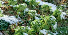 Die Überwinterung von Gartensalat im Freiland wird heute kaum noch praktiziert. Dabei sind viele traditionelle und auch einige neuere Sorten erstaunlich kältefest und brauchen kein Gewächshaus. Wie etwa der Winter-Kopfsalat, der im Herbst gepflanzt und im Frühjahr geerntet werden kann.