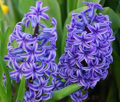 """Hyacinths once grew in Giacinta's garden. Her mother named Giacinta for these beautiful flowers that she loved. """"Giacinto"""" is the Italian word for """"hyacinth."""""""