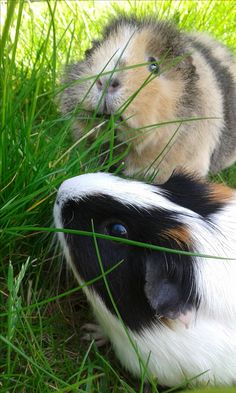 Molly and Emmeline, Guinea Pigs