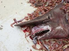 A rare deep-sea goblin shark is believed to be only the second such specimen ever caught in the Gulf of Mexico. #WildlifeNews Photo: Carl Moore