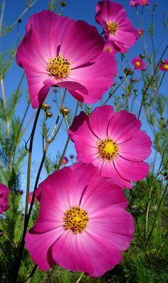 Magenta Cosmos - grow easily from seed in the Denver metro area.