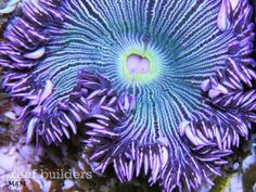 The beauty of the #flower #anemone, an under-appreciated gem for any reef #aquarium http://www.roanokemyhomesweethome.com