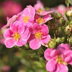 Potentilla fruticosa 'Pink Paradise' (Large Plant) - Large Potted Plants - Thompson & Morgan