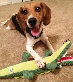 BREAKING: Dog Catches Alligator