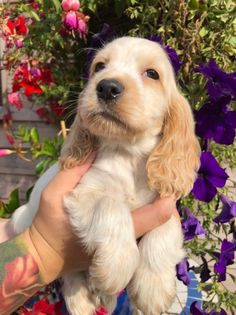 we are delighted to offer to an approved home a simply stunning orange roan boy. Home reared with the best of care and attention by Kennel Club Assure Orange Roan Cocker Spaniel, Perro Cocker Spaniel, Cute Baby Dogs, Cute Dogs And Puppies, Doggies, Shiba Inu, Cockerspaniel, Golden Retriever, Cute Little Animals