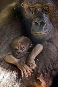 Western Lowland gorilla mother Bana holds her new baby born on November 16, 2011.
