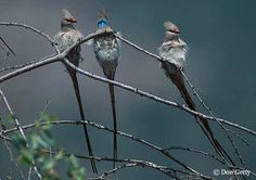 Blue Naped Mousebirds (Urocolius macrourus)