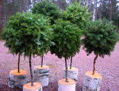 Suvikumpu: HAVUPALLOPUU - ohje Christmas Garden Decorations, Christmas Flowers, Christmas Candy, Christmas And New Year, Christmas Wreaths, Christmas Crafts, Spruce Tree, Advent Wreath, Gardening