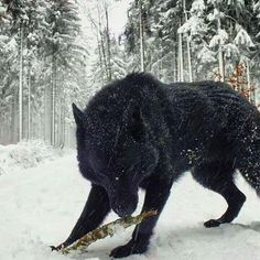 Now that's a wolf shot.#GoWild. Pic: @wolf_gram__