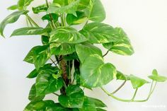 feng shui indoor plants - philodendron
