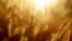 عکس طبیعت گیاه طلایی