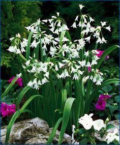 Allium triquetrum - Allium - from John Scheepers Fall 2013 Flower Bulbs