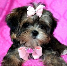 Tiny Shorkie PuppyPicture Perfect PrincessShe is out of this world Spectacular!!Look at that face!SOLD Found Loving New Family!
