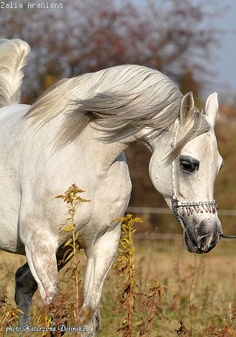 """When I was younger, I wanted a grey (white) Arab if I ever got a horse. Now that I am older, I have come to appreciate the benefits of animals with calm, docile natures. =) Arabs are called """"hot bloods"""" for a reason!"""