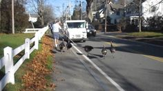 "Watch how these wild turkeys attacked a mailman in Falmouth, Massachusetts! The local mail carrier uses to carry a big stick with him in that area as the wild birds assault him every day. The video was posted to YouTube on Dec. 5 and drew more than a million visitors in a week and counting. ""This is how I feel being the only male at the office,"" a YouTube user wrote in comments. ""Kill one and eat it as a message to the other birds,"" another YouTube user commented."