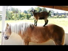 They Caught The Goats Doing This To Horses And It Is Beyond Hilarious - Suggested Post
