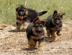 Бегущие щенки немецкой овчарки.