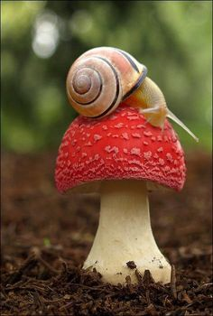 Snail Sitting on a Red Mushroom: seeing in this in person just went onto my list of things to do before I die i dunno why but I am fascinated by fungi and snails i love em ther my two favorite living beings (besides from you)