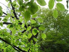 Beech leaves, 2007