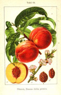 Flora von Deutschland in Abbildungen nach der Natur (1904)