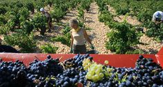 Fingers crossed as #wine #harvest begins in FranceThe annual wine harvest season got underway in France this week, two weeks later than usual thanks in the main to adverse weather conditions. Violent summer storms have meant 2013 may not be a vintage year for some French wines.