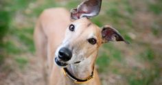 Dogs+Trust+can't+find+greyhounds+their+'forever+home'+and+the+video+will+MELT+you