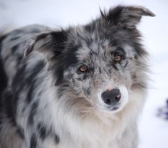 blue merle border collie. reminds me of our old sheepdog at the farm Shep.