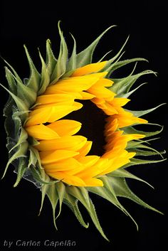 Sunflower -- by carlos_capelão Sunflower Flower, My Flower, Yellow Sunflower, Happy Flowers, Beautiful Flowers, Sun Flowers, Photos Of Flowers, Sunflowers And Daisies, Sunflower Pictures