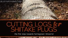 Tips on finding the right wood to grow your own SHIITAKE MUSHROOMS, and ordering your own shiitake plugs! #homesteading