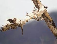 Red tailed hawk steals a fish from an osprey. Amazing shot by Lyle Madeson.