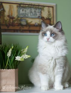 "(Ragdoll) ""A cat adds life to a home."" --Author Unknown And can take years off your life! Haha!"