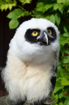 ~~Spectacled owl chick named Elvis~~