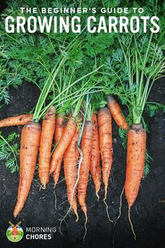 Growing Carrots The Beginner&;s Guide to Raising an Amazing Crop of Carrots Growing Carrots The Beginner&;s Guide to Raising an Amazing Crop of Carrots Eunice deoliveira eunicedeoliveir How to plant and harvest […] gardening carrots Growing Veggies, Growing Plants, Growing Carrots From Seed, Gardening For Beginners, Gardening Tips, Gardening Books, Balcony Gardening, How To Plant Carrots, Gardens
