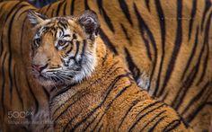 Cub by riyazquraishi #animals #animal #pet #pets #animales #animallovers #photooftheday #amazing #picoftheday
