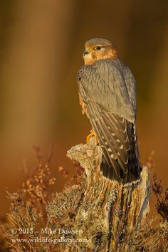 Merlin by Mike Dowsett, via 500px  I think he's actually a hawk ... but irresistible...