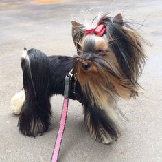 Love those wind machines.... #yorkie #itsaYORKIElife