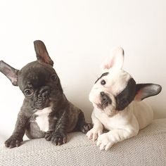 Rocco and Duca, French Bulldog Puppies, #rocco_and_duca on instagram