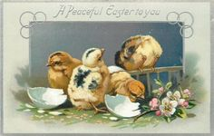 A PEACEFUL EASTER TO YOU  chicks in inset with pink/white dog roses, right