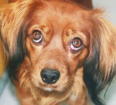 *SALLY-ID#A670871    Shelter staff named me SALLY.    I am a spayed female, red and black Dachshund - Longhaired mix.    The shelter staff think I am about 1 year and 7 months old.    I have been at the shelter since Sep 28, 2012.