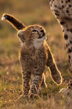 A Tender Moment.  A Cheetah cub looks up at its mother on the great plains of Maasai Mara, Africa by greg du toit.