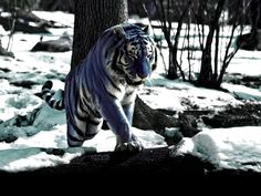 Maltese tiger. holy mother! not sure if this is real, but either way, IT'S A BLUE TIGER!