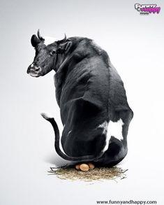 Resultado de imagem para funny cow