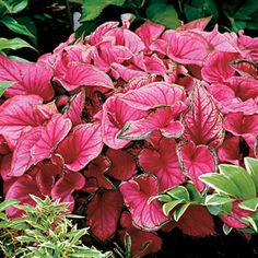 Absolutely the finest Caladium we know! 'Sweetheart' can take the summer sun in stride, growing with vigor to an unbelievably lush, compact 15 inches.