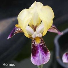 Roméo | Historic Iris Preservation Society