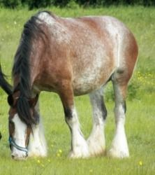 Bay Quarter Horse Mare Spring Grazing In Green Grass And Yellow