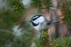 'Mountain Chickadee and Pine Boughs', a fine art nature photograph by Lynn Cyrus / Cascade Colors. An adorable, curious, and energetic little Mountain Chickadee perches atop the end of a pine bough in winter, in the Colorado Rocky Mountains near Estes Park. This small songbird, similar to his cousin the Black-capped Chickadee, sports black and white plumage and striking facial features. This photograph would be perfect for the bird lover in your family!