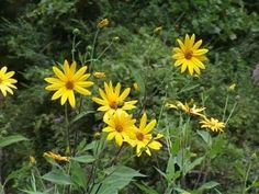 Jerusalem artichokes - perennial sunflowers with edible roots
