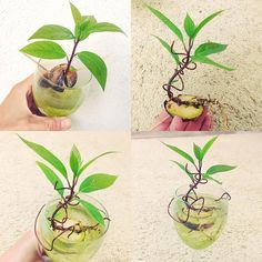 I love Bonsai.. I love Avocado.. Why not Bonsai and Avocado? #share #whynot #avocado #bonsai #japanese #japanesegarden #tree #greenthumb #plants #flowers #gardern #gardening #tokyo #china
