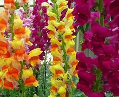 Assorted Snapdragon - Snapdragon - Flowers and Fillers - Flowers by category | Sierra Flower Finder