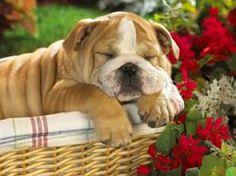 Cerco in regalo un cucciolo di bulldog inglese | Petpassion